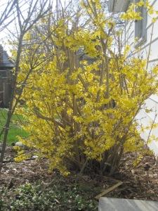 Fair forsythia, when will you bloom again?